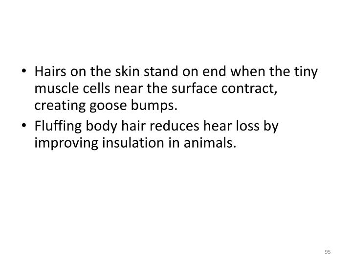 Hairs on the skin stand on end when the tiny muscle cells near the surface contract, creating goose bumps.