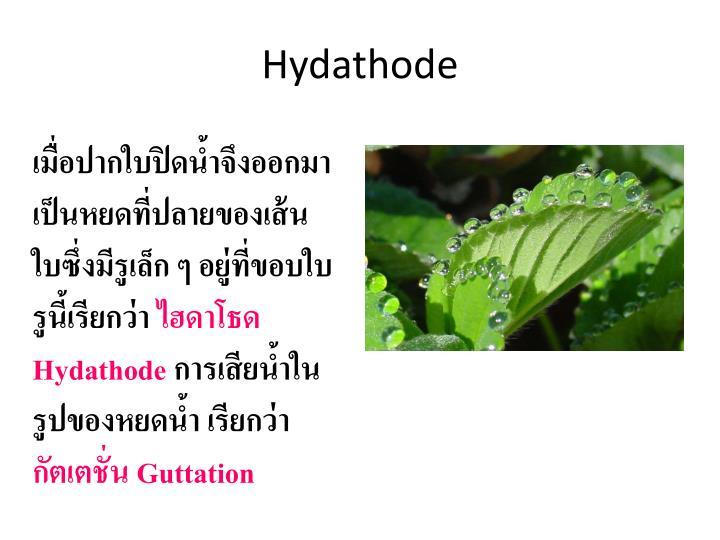 Hydathode