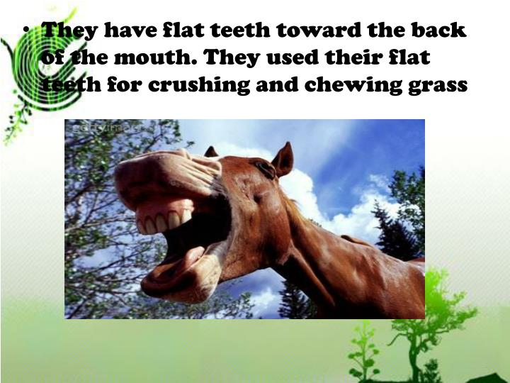 They have flat teeth toward the back of the mouth. They used their flat teeth for crushing and chewing grass