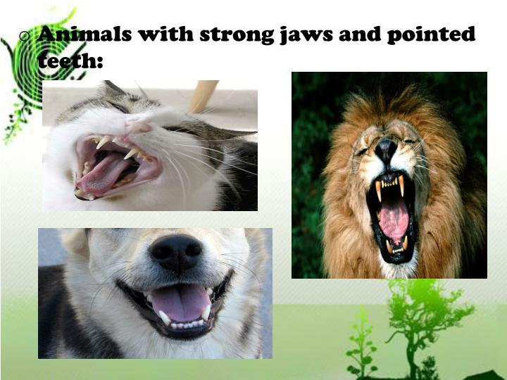 Animals with strong jaws and pointed teeth: