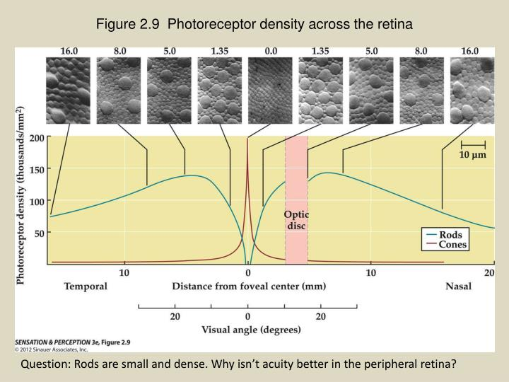 Figure 2.9  Photoreceptor density across the retina