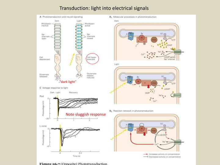 Transduction: light into electrical signals