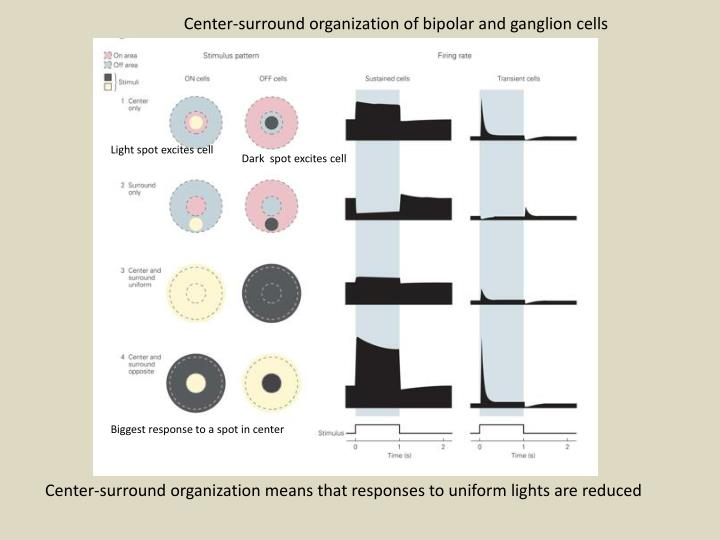 Center-surround organization of bipolar and ganglion cells