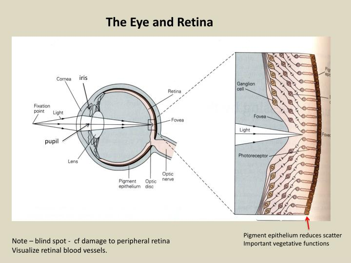 The Eye and Retina