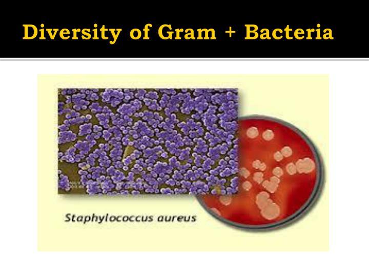 Diversity of Gram + Bacteria