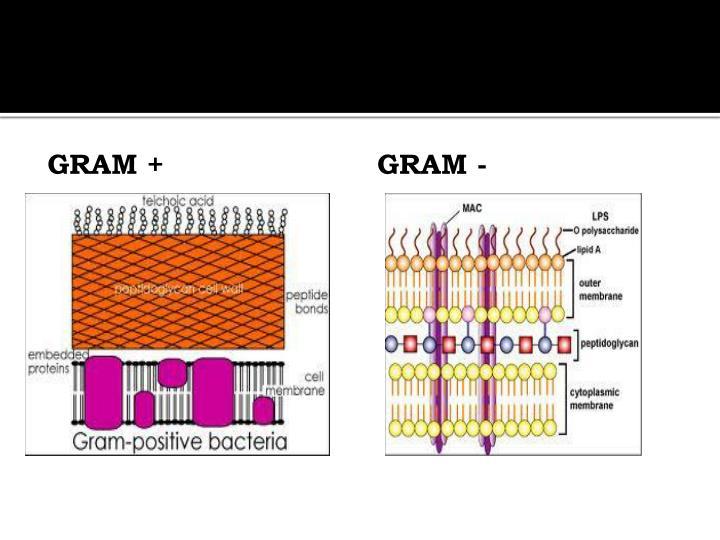 Gram +