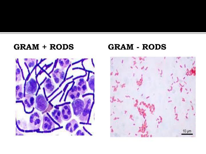 Gram + Rods