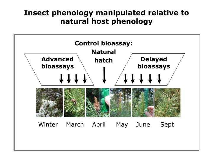 Insect phenology manipulated relative to natural host phenology