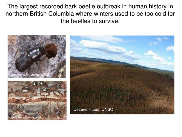 The largest recorded bark beetle outbreak in human history in northern British Columbia where winters used to be too cold for the beetles to survive.