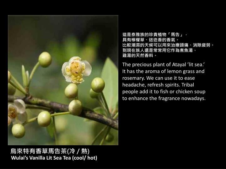這是泰雅族的珍貴植物「馬告