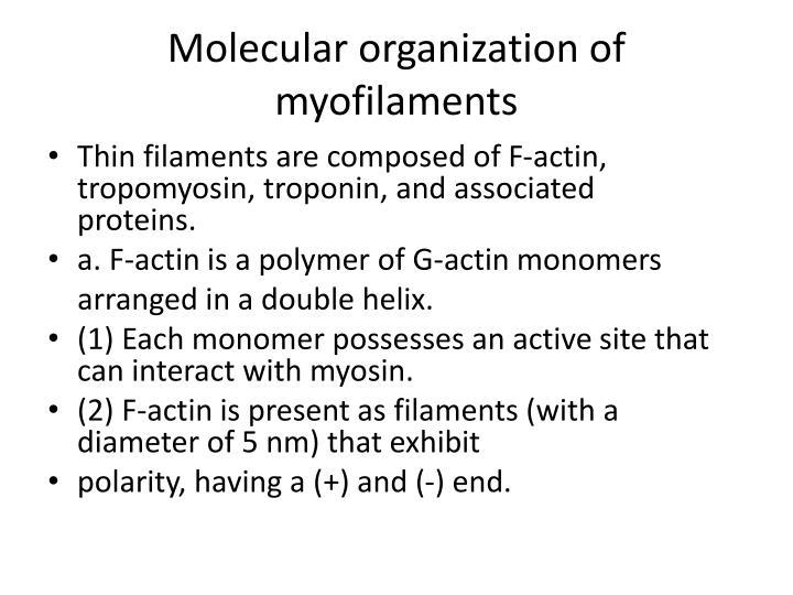 Molecular organization of myofilaments