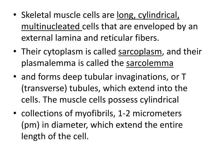 Skeletal muscle cells are