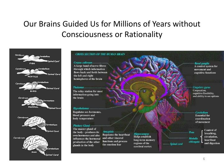 Our Brains Guided Us for Millions of Years without Consciousness or Rationality