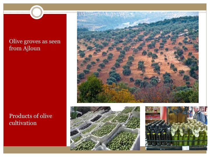 Olive groves as seen from
