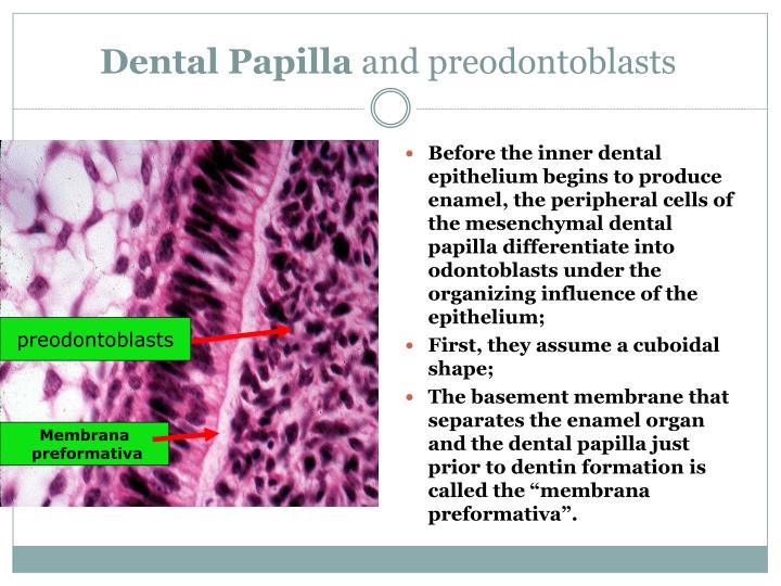 Dental Papilla