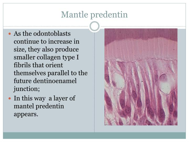 Mantle predentin
