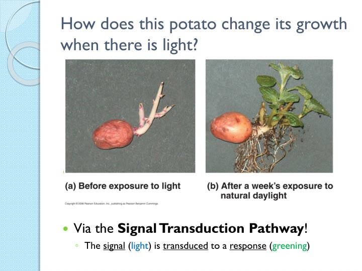 How does this potato change its growth when there is light?