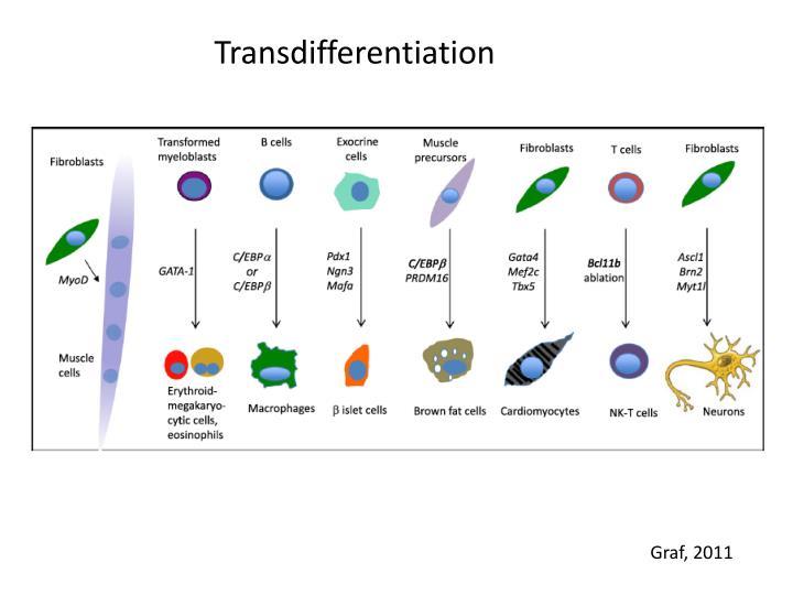 Transdifferentiation