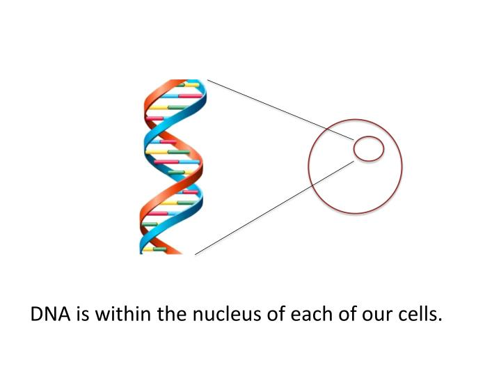 DNA is within the nucleus of each of our cells.