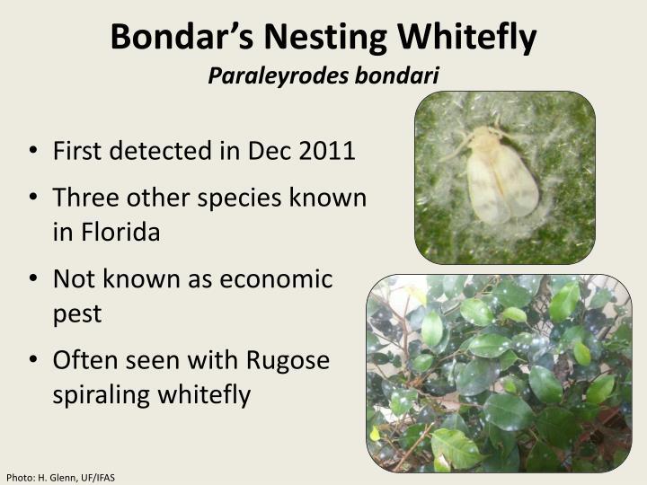 Bondar's Nesting Whitefly