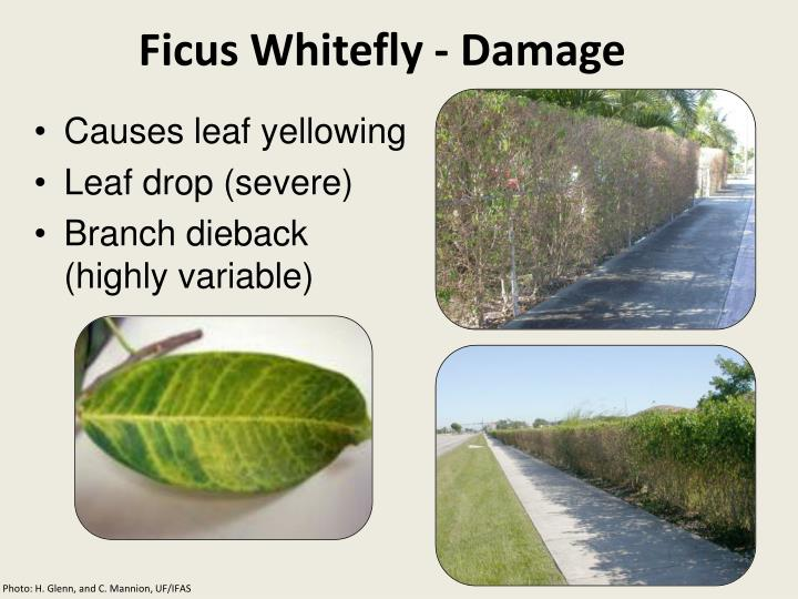 Ficus Whitefly - Damage