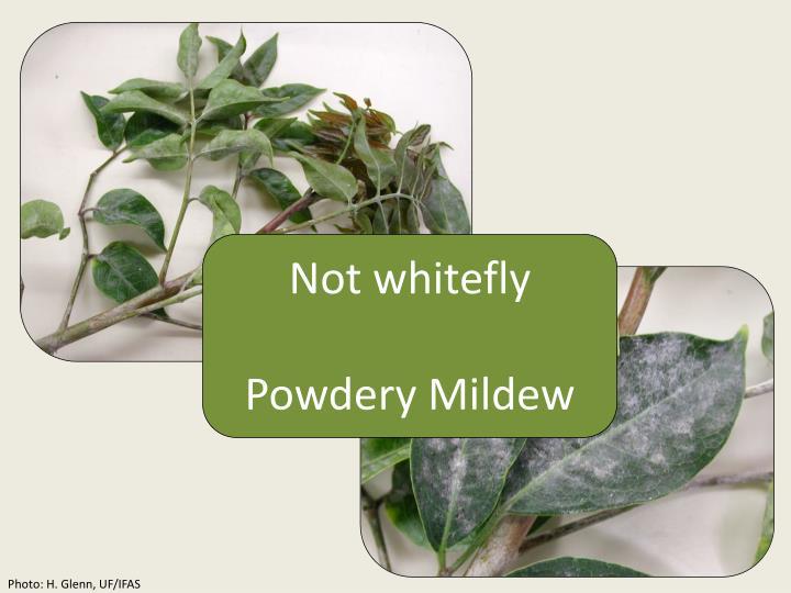 Not whitefly