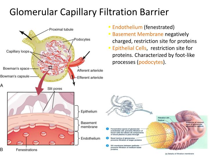 glomerular filtration Kidneys filter blood: processes of glomerular filtration, tubular reabsorption and tubular secretion, as taught for a-level human biology, itec anatomy & physiology.