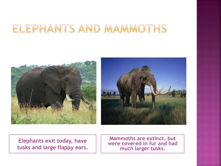 Elephants and mammoths