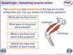 quadriceps hamstring muscle action