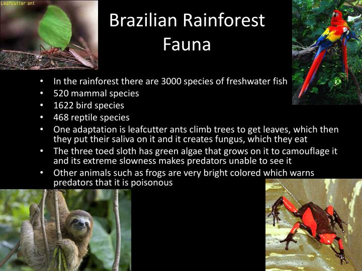 Brazilian Rainforest Fauna