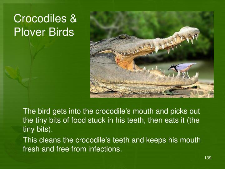 Crocodiles & Plover Birds