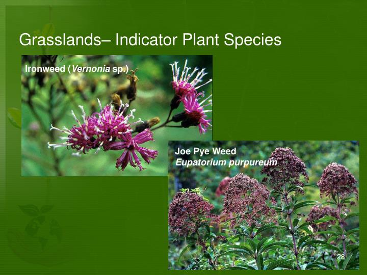 Grasslands– Indicator Plant Species
