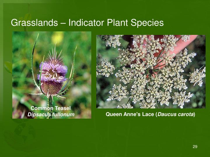 Grasslands – Indicator Plant Species