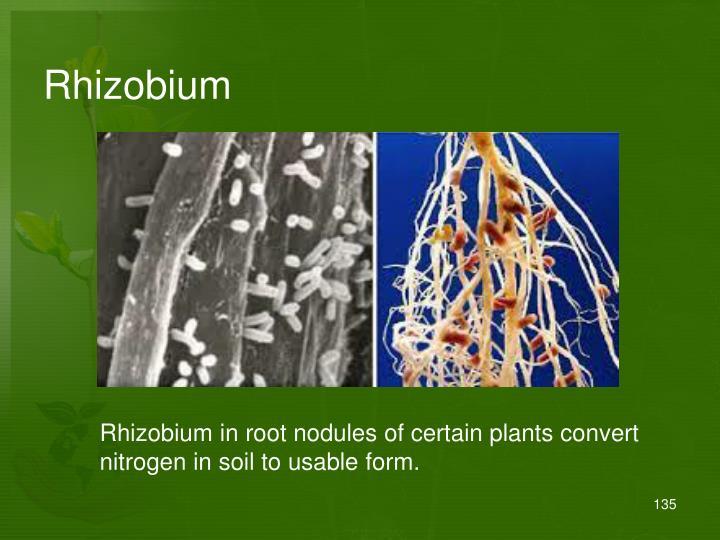 Rhizobium