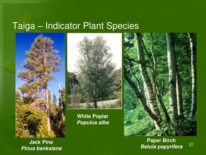 Taiga – Indicator Plant Species