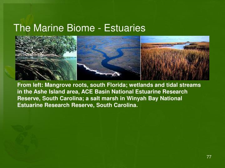 The Marine Biome - Estuaries