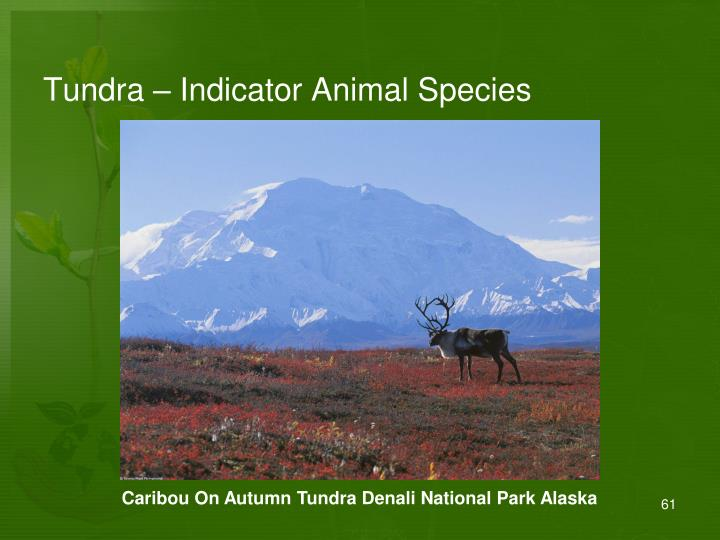 Tundra – Indicator Animal Species