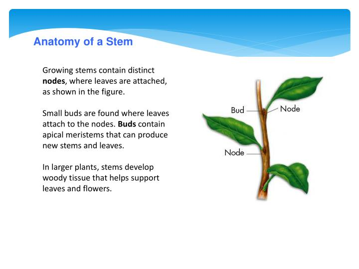 Anatomy of a Stem