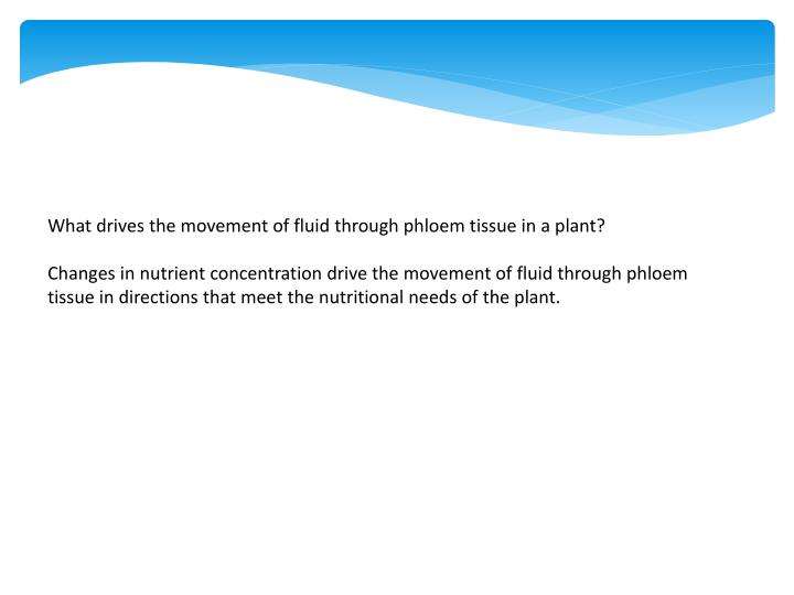 What drives the movement of fluid through phloem tissue in a plant?