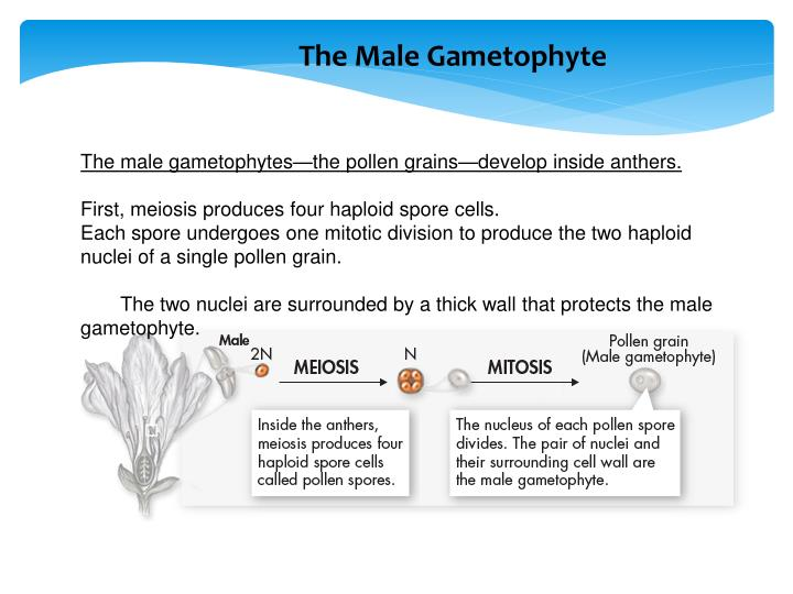 The Male Gametophyte