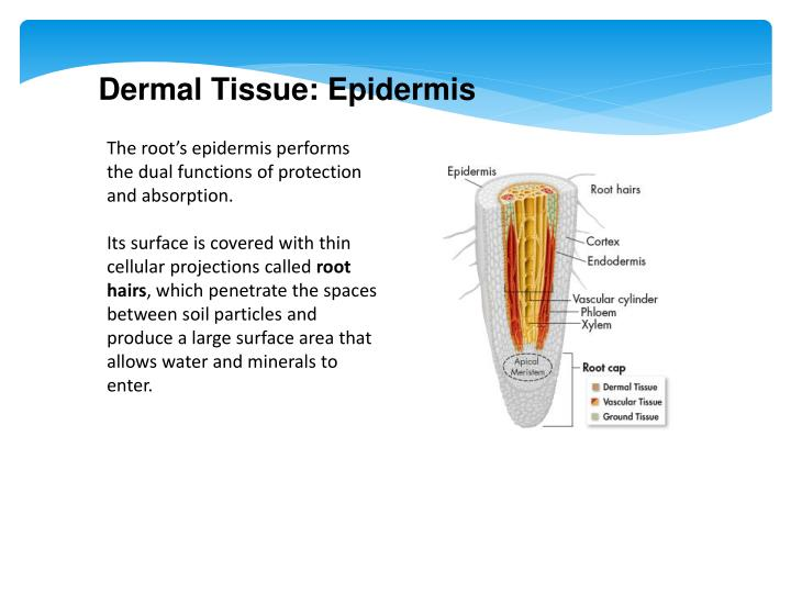 Dermal Tissue: Epidermis