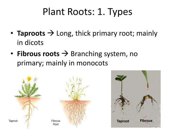 Plant Roots: 1. Types