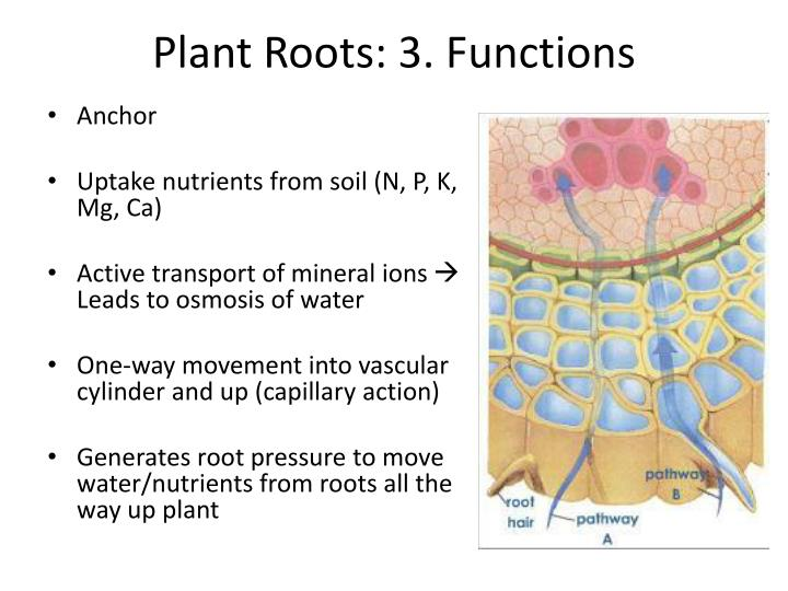 Plant Roots: 3. Functions