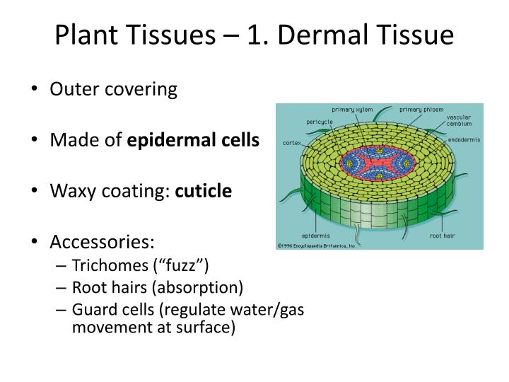 Plant tissues 1 dermal tissue