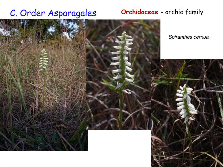 Asparagales