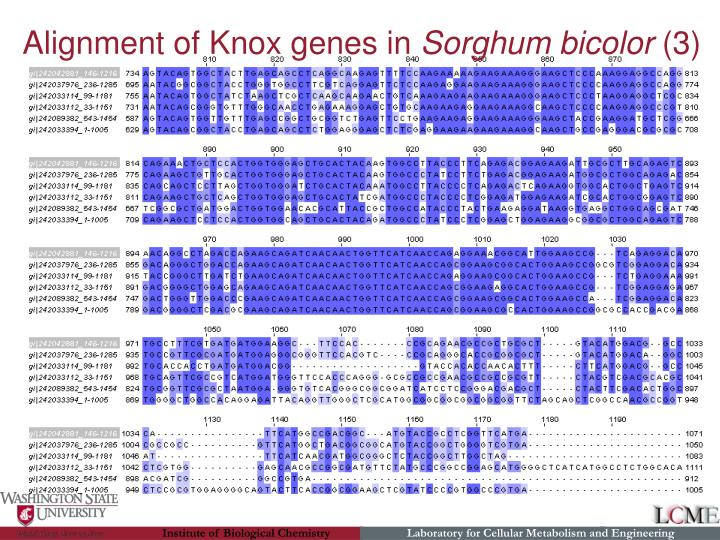 Alignment of Knox genes in