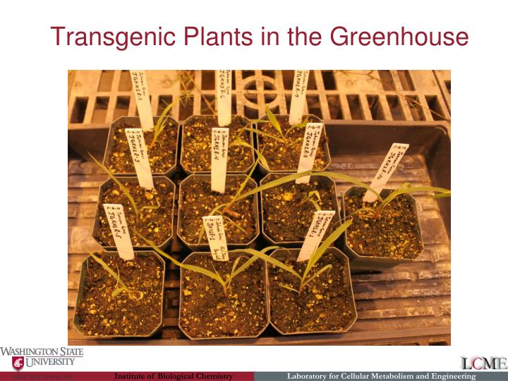 Transgenic Plants in the Greenhouse