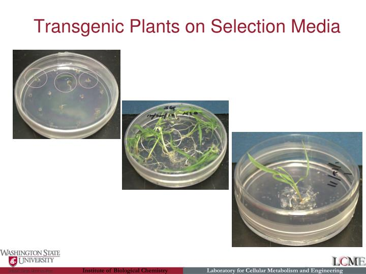 Transgenic Plants on Selection Media