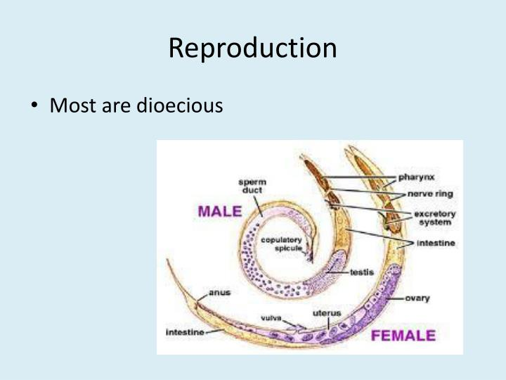 Filarial Worms Life Cycle PPT - Phylum: Nematoda...