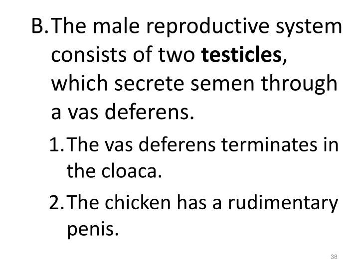 The male reproductive system consists of two
